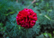Red decorative peony flower