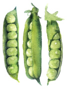 watercolor sketch: peas on white background