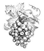 Antique illustration of vine (Vitis vinifera)