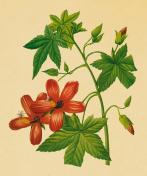 Hibiscus | Antique Flower Illustrations