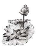 hand drawing lotus bush isolated