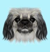 Illustrated portrait of Pekingese dog.