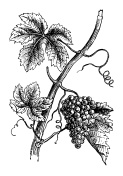 Bunch of Grape on Vine | Vintage Farmer Garden Clipart