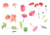 Pattern Mimosa Albizia julibrissin foliage and flowers