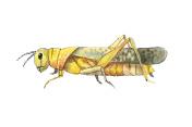 Grasshopper sketch. Hand drwan watercolor sketch of grasshopper.