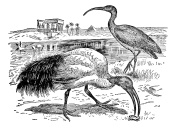 Sacred Ibis and Glossy Ibis