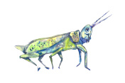 Transparent blue grasshopper. Watercolor blue grasshopper. Trans