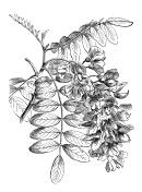 Antique illustration of Robinia pseudoacacia (black locust)