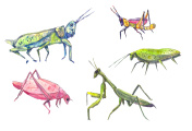 Grasshoppers set.