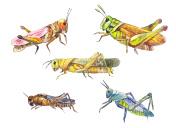 Locust set. Hand drawn locust isolated on white.