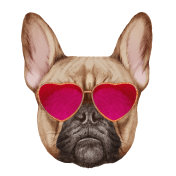 French Bulldog in Love! Portrait of French Bulldog with heart shaped sunglasses.