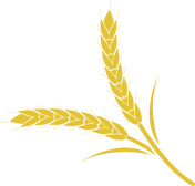 Wheat spike yellow on a white background