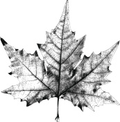 Dry Maple Leaf – Vector Illustration