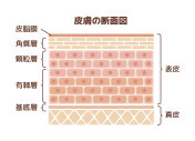 Layer of human skin illustration (japanese)