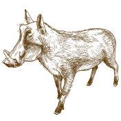 engraving drawing illustration of common warthog