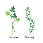coriander rosemary illustration