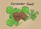 hand drawing illustration vector of coriander