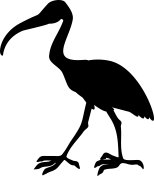 Silhouette of African sacred ibis