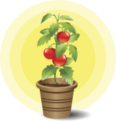 Potted tomato plant bearing ripe tomatoes