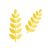 Ear wheat isolated vector