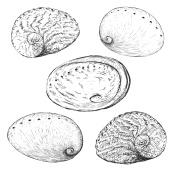 Hand Drawn Abalone shell Illustration