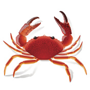Picture of a red crab with claws