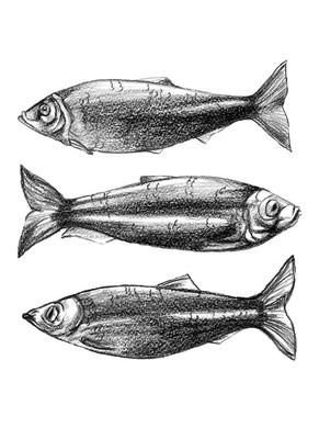 铅笔画鱼鲱鱼