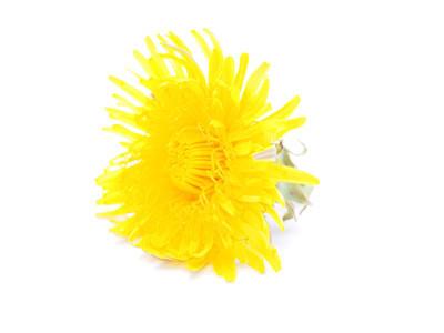 黄色蒲公英
