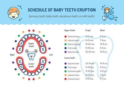 Schedule of Baby Teeth Eruption. Primary teeth, deciduous teeth. Childrens dentistry infographics Dental care