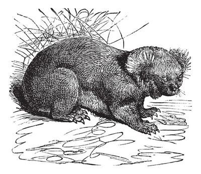 考拉或熊灰复古雕刻