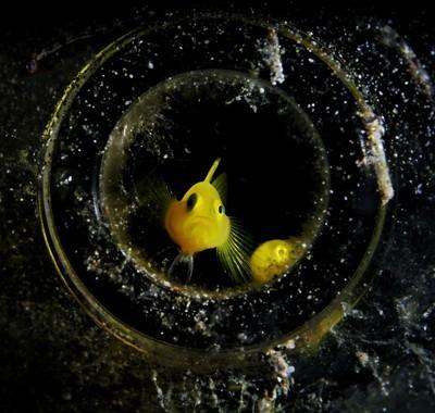 水下微距摄影,瓶中鱼——Goby fish