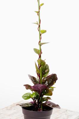 葵盆栽植物