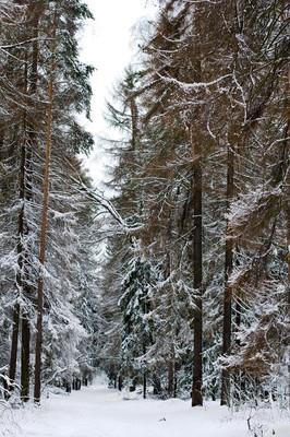 冬季森林覆盖着雪