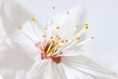 Flower of apple tree (close-up)