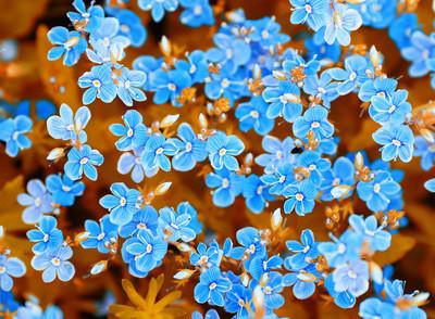 背景下蓝色娇嫩的小花,在居民区的勿忘我