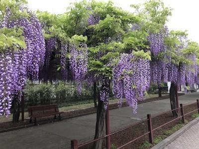 2019年4月19日、嘉定紫藤园