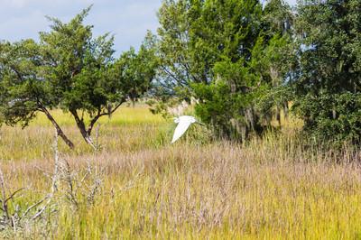 雪鹭飞越沼泽