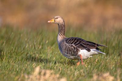 灰鹅雁步行穿过草