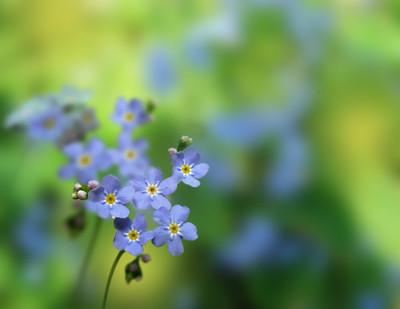 蓝色小花勿忘我的特写
