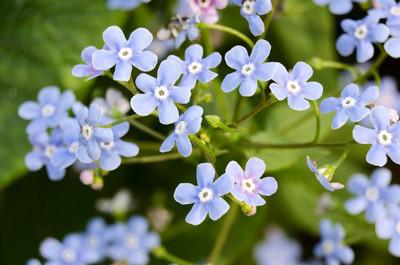 Vergissmeinnicht Blumen Hintergrund. hautnah. Tiefenschärfe, also