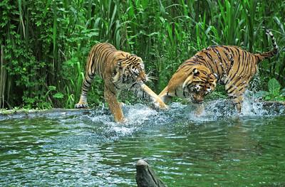 在湖野生动物园老虎打架