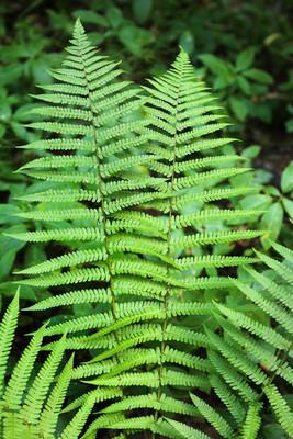 蕨类植物的分支