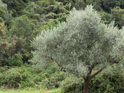 森林中的树木, Limnonari, 斯科拜洛斯, 希腊