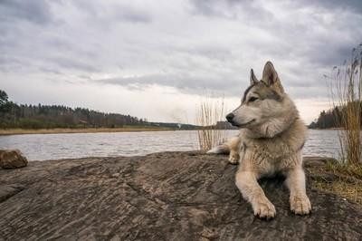 阿拉斯加狗在岩石上休息