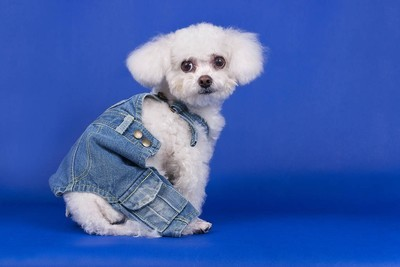 The Bichon Frise sits in a denim suit on a blue background