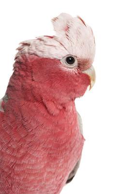 粉红凤头鹦鹉 (2 岁) 上白色孤立