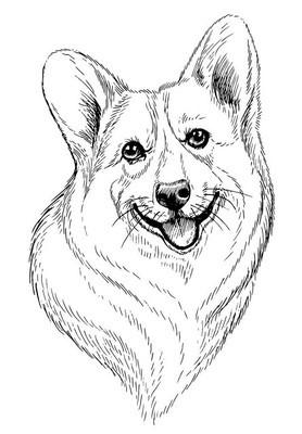 矢量手绘素描人像的威尔士科基犬彭布罗克。孤立在白色背景上的手绘国内宠物狗图