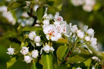 梨树上花关闭图片