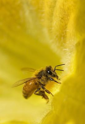 黄色花的花瓣上的蜜蜂
