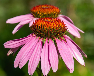 Echinacea flower with bee